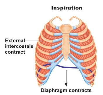 Muscles on the respiratory system